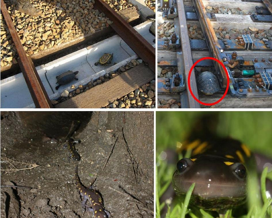 Ekolojik köprüler ve vahşi yaşam geçitleri her yıl binlerce hayvanı kurtarıyor