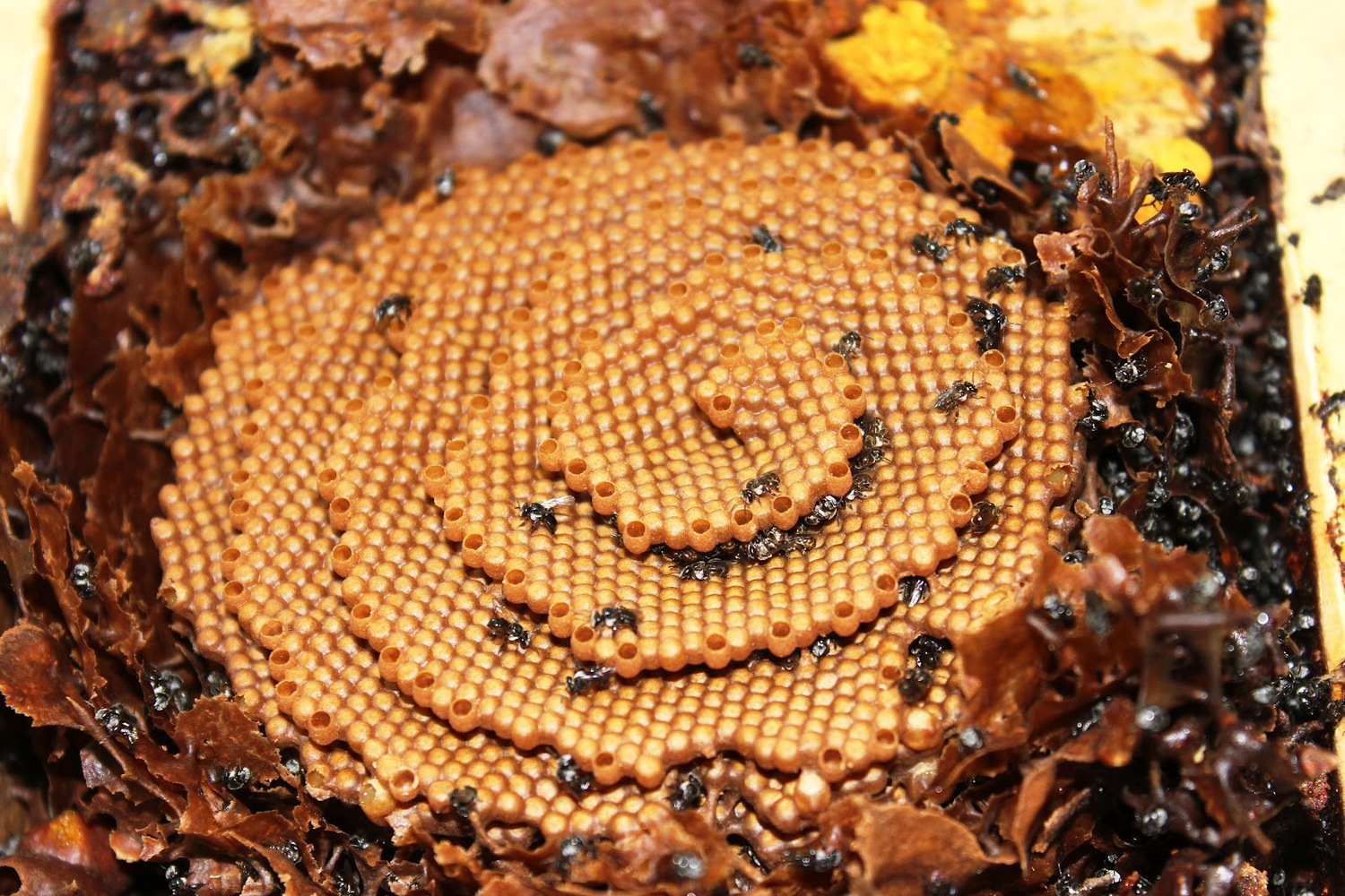 australian stingless bees a guide to sugarbag beekeeping